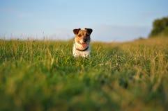 Gelukkige hond in park Stock Afbeeldingen