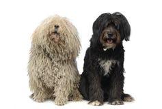 2 gelukkige honden die in een witte studio zitten Royalty-vrije Stock Afbeelding