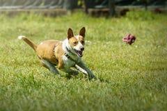 Gelukkige hondenhond die een stuk speelgoed in het gras achtervolgen stock afbeelding