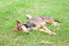 Gelukkige hondslaap op werf royalty-vrije stock afbeeldingen