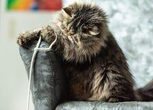 Gelukkige huisdieren - het langharige katje spelen met een koord thuis stock afbeeldingen