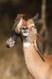 Gelukkige impala Royalty-vrije Stock Afbeeldingen
