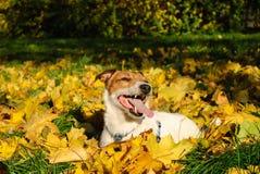 Gelukkige Jack Russell Terrier-hond in dalingsbladeren Stock Afbeelding