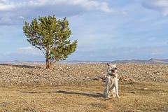 Gelukkige Japanse Akita Inu-hond op de kust van Meer Baikal in de lente in de duidelijke zonnige dag naast een naaldboom Stock Foto