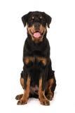 Gelukkige Jonge Rottweiler royalty-vrije stock fotografie