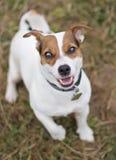 Hefboom Russell Terrier Royalty-vrije Stock Afbeeldingen