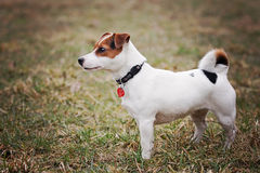 Hefboom Russell Terrier Royalty-vrije Stock Foto