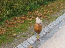 Gelukkige kip die op de weg lopen Stock Foto