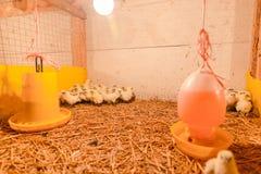 Gelukkige kip in landbouwbedrijf Stock Foto