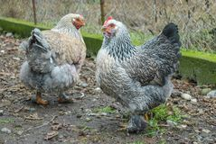 Gelukkige kippen Stock Afbeeldingen