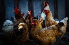 Gelukkige kippen stock afbeelding