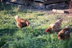 Gelukkige kippen in de eigen tuin stock afbeeldingen
