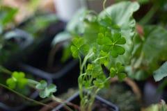 Gelukkige klaver die als huisinstallatie planten, groen, met vier bladeren Royalty-vrije Stock Fotografie