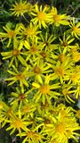 gelukkige kleine gele bloemen in warme de zomerweiden royalty-vrije stock afbeeldingen
