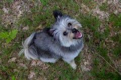 Gelukkige kleine hond die upwards in de camera kijken stock afbeeldingen