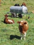 Gelukkige koeien Royalty-vrije Stock Afbeeldingen