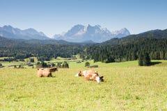 Gelukkige koeien Royalty-vrije Stock Foto's