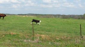 Gelukkige Koeien Stock Afbeeldingen