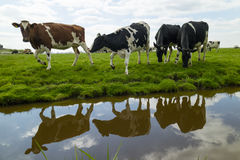 Gelukkige koeien in de weide Stock Fotografie