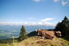 Gelukkige koeien op de bovenkant van een berg Stock Afbeelding