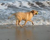 Gelukkige Labrador Royalty-vrije Stock Afbeeldingen