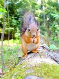 Gelukkige leuke eekhoorn die een noot eten Stock Fotografie