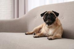 Gelukkige leuke pug hond stock afbeeldingen
