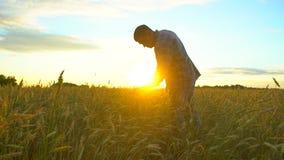 Gelukkige mensenlandbouwer die op mooi rijp tarwegebied bij zonsondergang of zonsopgang lopen Mannelijke landbouwer wat betreft o stock footage