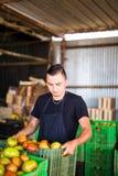 Gelukkige organische landbouwers dragende tomaten in dozen vóór verkoop binnen Stock Foto