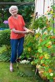 Gelukkige Oude Vrouw die Zorg nemen haar Bloemtuin Royalty-vrije Stock Afbeelding