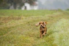 Gelukkige puppyhond die aan u in de herfstplatteland lopen Royalty-vrije Stock Foto
