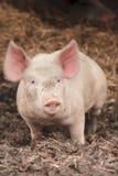gelukkige roze varkensbaby stock foto