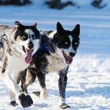Gelukkige Siberische Huskies in Yukon-Zoektocht royalty-vrije stock foto