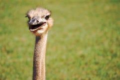 Gelukkige Struisvogel Royalty-vrije Stock Afbeelding