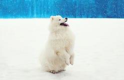 Gelukkige vrolijke witte Samoyed-hond op sneeuw in de winter Royalty-vrije Stock Foto's