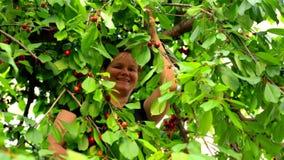 Gelukkige Vrouw het Plukken Kersen in de Tuin stock footage