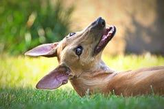 Gelukkige windhond openlucht in het gras stock afbeelding
