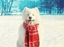 Gelukkige witte Samoyed-hond op sneeuw in de winter Stock Afbeeldingen