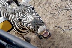 Gelukkige Zebra Royalty-vrije Stock Afbeeldingen
