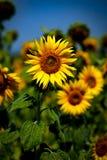 Gelukkige zonnebloem royalty-vrije stock foto