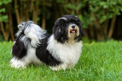 Gelukkige zwart-witte havanese puppyhond in het gras stock foto