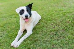 Gelukkige zwart-witte hond op groen gras Royalty-vrije Stock Foto's