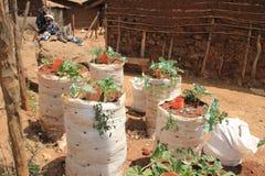 Gemüse in den Grundsätzen in Nairobi-Elendsvierteln zu wachsen ist einer der schlechtesten Plätze in Afrika lizenzfreies stockfoto