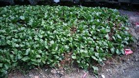 Gemüse des chinesischen Kohls und des Chinakohls im Ackerland Stockfotos