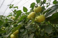 Gemüse des grünen Hauses in China Stockfotos