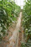 Gemüse des grünen Hauses in China Stockfoto