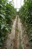 Gemüse des grünen Hauses in China Lizenzfreie Stockfotos