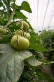 Gemüse des grünen Hauses von China Lizenzfreies Stockbild