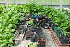 Gemüse in einem Gewächshaus Stockbild