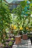 Gemüse in einem Gewächshaus Stockbilder